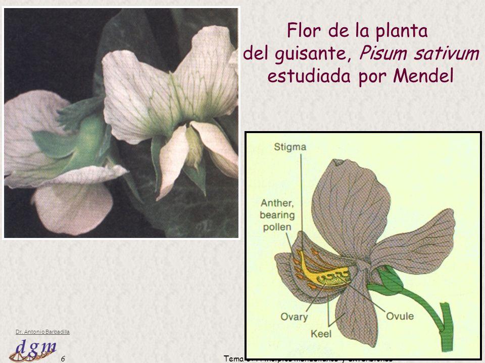 del guisante, Pisum sativum estudiada por Mendel