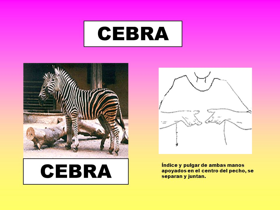 CEBRA CEBRA Índice y pulgar de ambas manos apoyados en el centro del pecho, se separan y juntan.