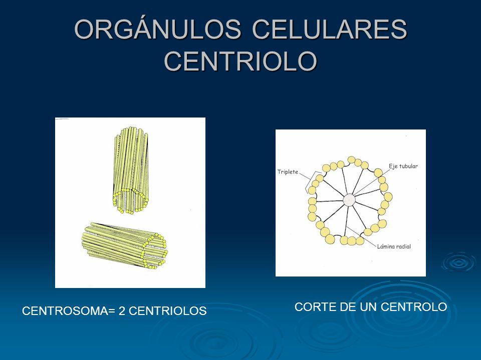 ORGÁNULOS CELULARES CENTRIOLO