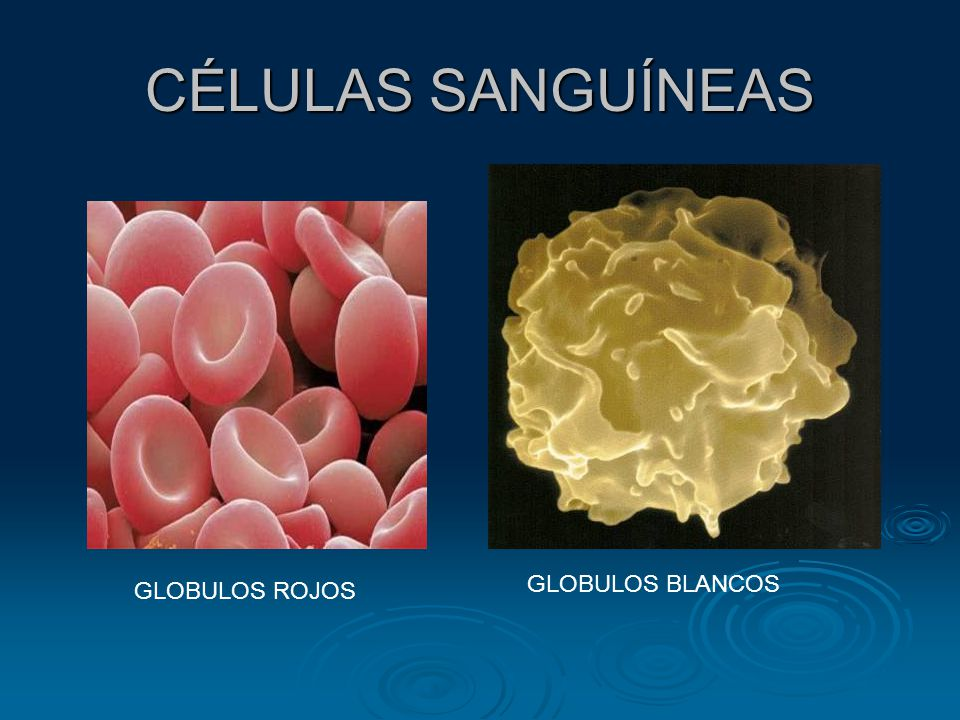CÉLULAS SANGUÍNEAS GLOBULOS BLANCOS GLOBULOS ROJOS