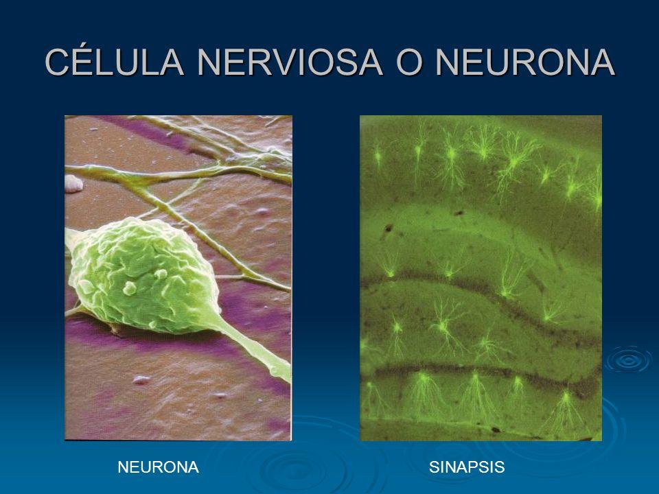 CÉLULA NERVIOSA O NEURONA