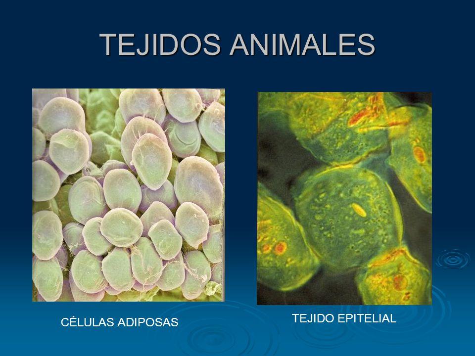 TEJIDOS ANIMALES TEJIDO EPITELIAL CÉLULAS ADIPOSAS