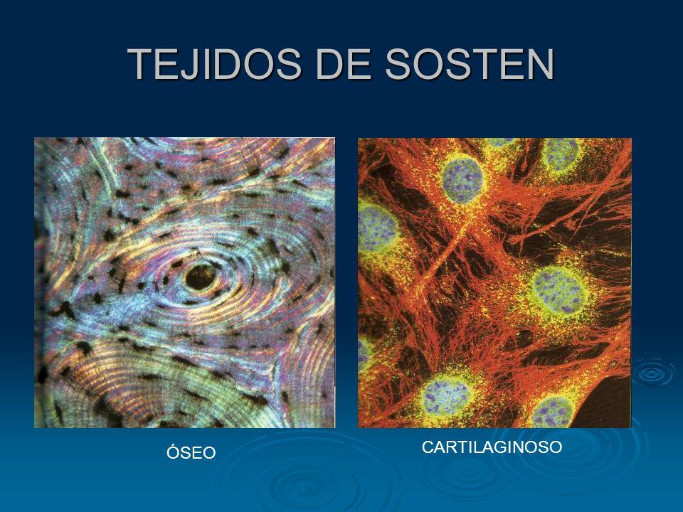 TEJIDOS DE SOSTEN CARTILAGINOSO ÓSEO