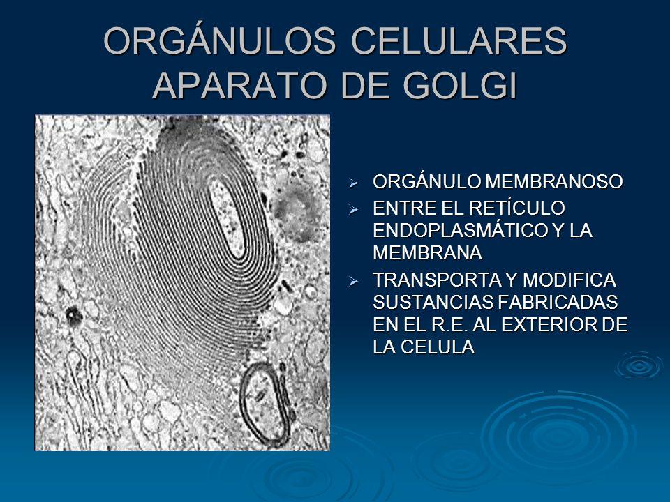 ORGÁNULOS CELULARES APARATO DE GOLGI