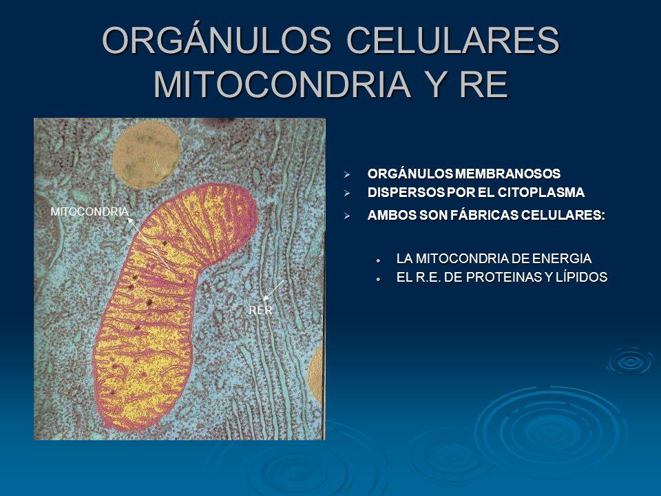 ORGÁNULOS CELULARES MITOCONDRIA Y RE