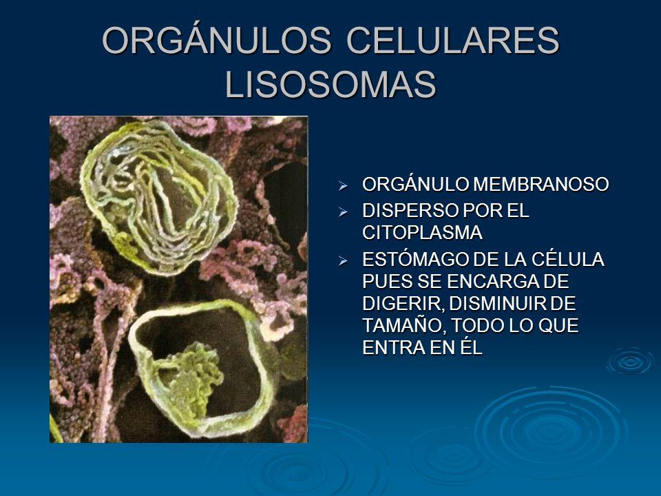 ORGÁNULOS CELULARES LISOSOMAS