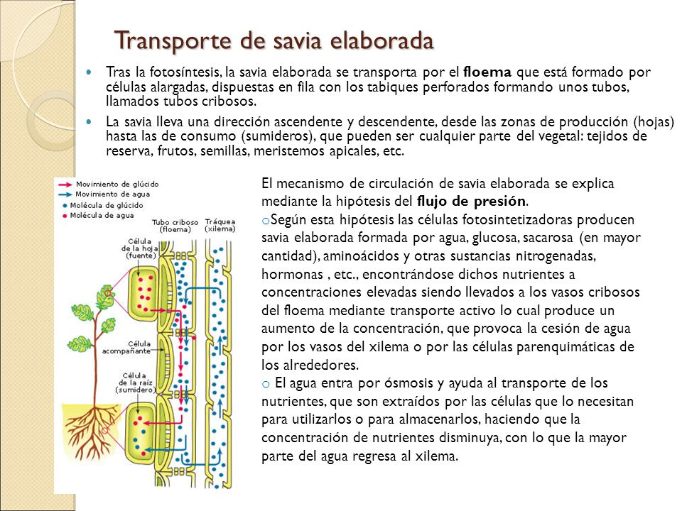 Transporte de savia elaborada