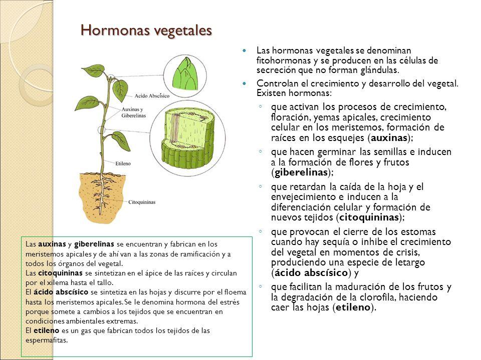 Hormonas vegetales Las hormonas vegetales se denominan fitohormonas y se producen en las células de secreción que no forman glándulas.