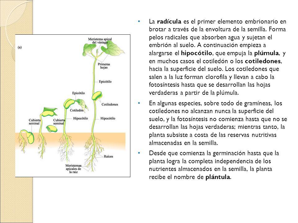 La radícula es el primer elemento embrionario en brotar a través de la envoltura de la semilla. Forma pelos radicales que absorben agua y sujetan el embrión al suelo. A continuación empieza a alargarse el hipocótilo, que empuja la plúmula, y en muchos casos el cotiledón o los cotiledones, hacia la superficie del suelo. Los cotiledones que salen a la luz forman clorofila y llevan a cabo la fotosíntesis hasta que se desarrollan las hojas verdaderas a partir de la plúmula.