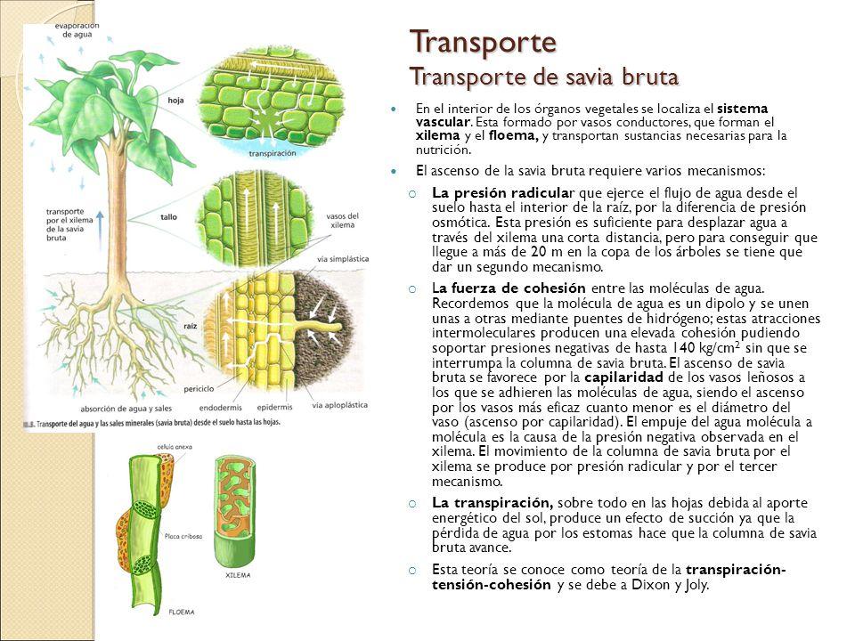 Transporte Transporte de savia bruta