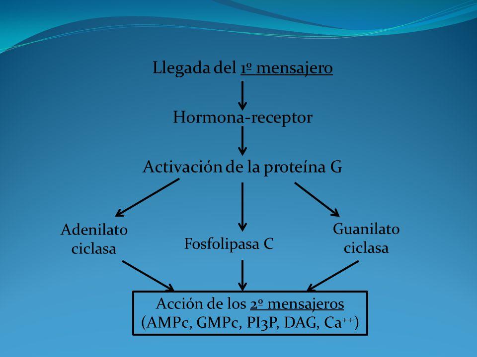 Llegada del 1º mensajero Hormona-receptor Activación de la proteína G