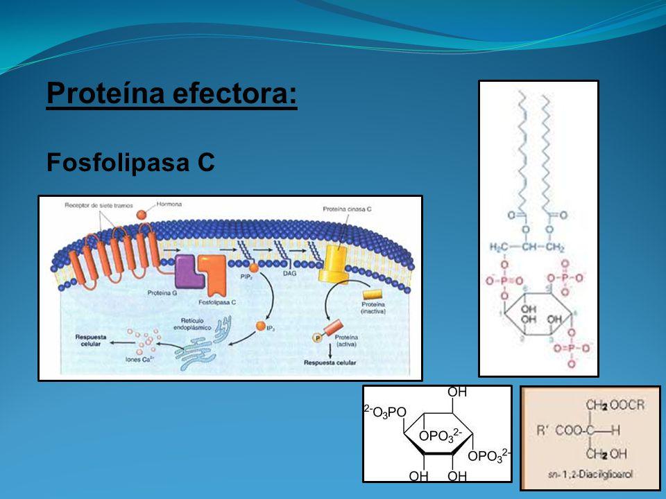 Proteína efectora: Fosfolipasa C