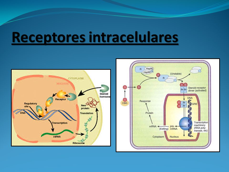 Receptores intracelulares