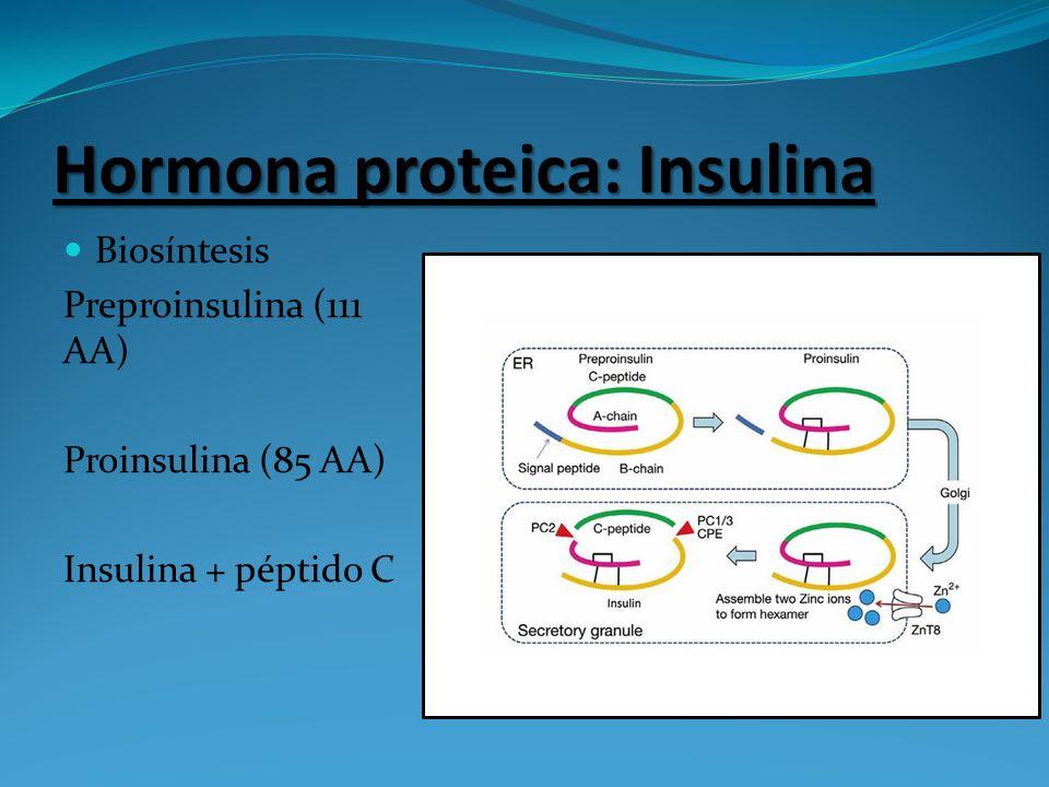 Hormona proteica: Insulina