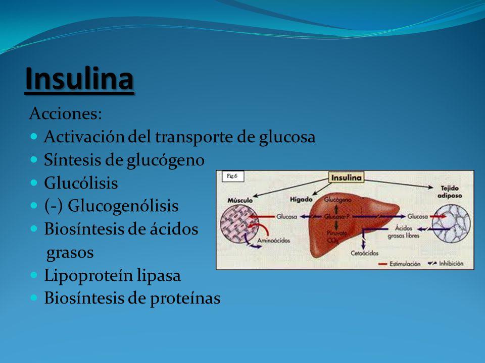 Insulina Acciones: Activación del transporte de glucosa