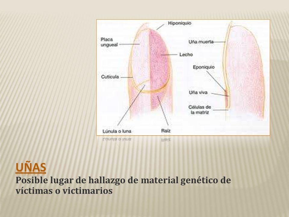 Uñas Posible lugar de hallazgo de material genético de víctimas o victimarios