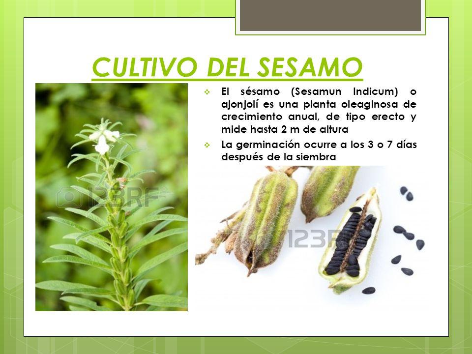 CULTIVO DEL SESAMO El sésamo (Sesamun Indicum) o ajonjolí es una planta oleaginosa de crecimiento anual, de tipo erecto y mide hasta 2 m de altura.