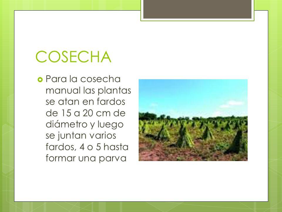 COSECHA Para la cosecha manual las plantas se atan en fardos de 15 a 20 cm de diámetro y luego se juntan varios fardos, 4 o 5 hasta formar una parva.