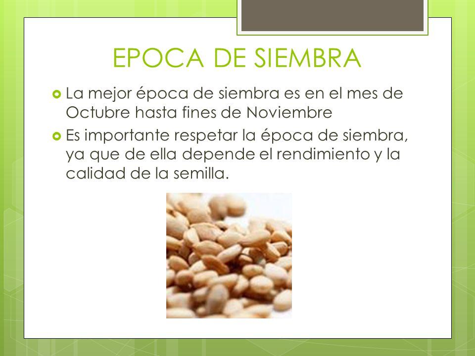 EPOCA DE SIEMBRA La mejor época de siembra es en el mes de Octubre hasta fines de Noviembre.