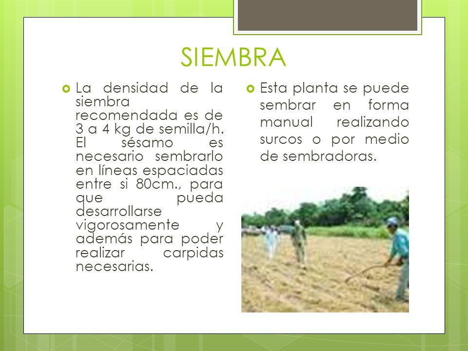 SIEMBRA Esta planta se puede sembrar en forma manual realizando surcos o por medio de sembradoras.