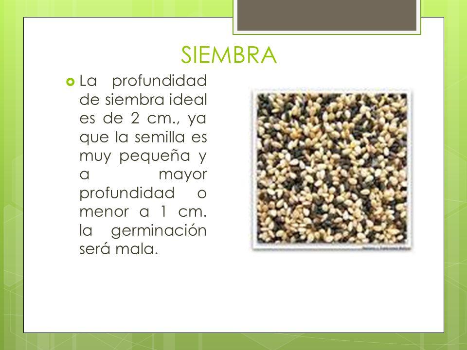SIEMBRA La profundidad de siembra ideal es de 2 cm., ya que la semilla es muy pequeña y a mayor profundidad o menor a 1 cm.