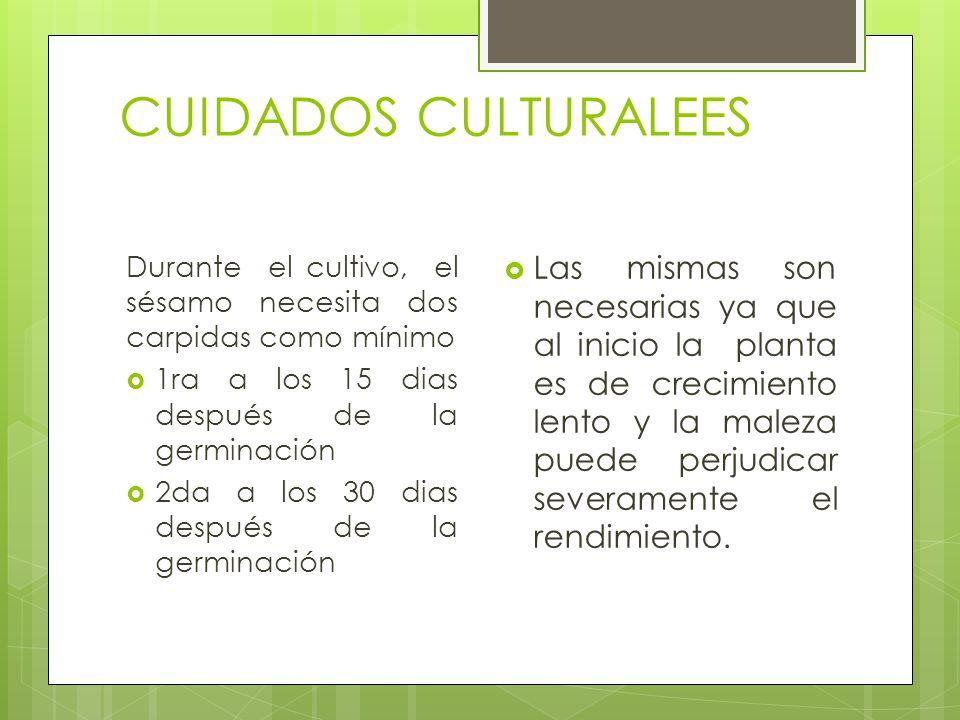 CUIDADOS CULTURALEES Durante el cultivo, el sésamo necesita dos carpidas como mínimo. 1ra a los 15 dias después de la germinación.