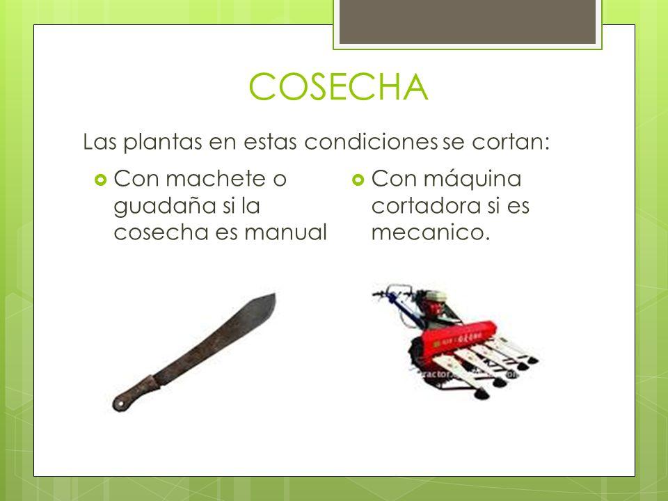 COSECHA Las plantas en estas condiciones se cortan: