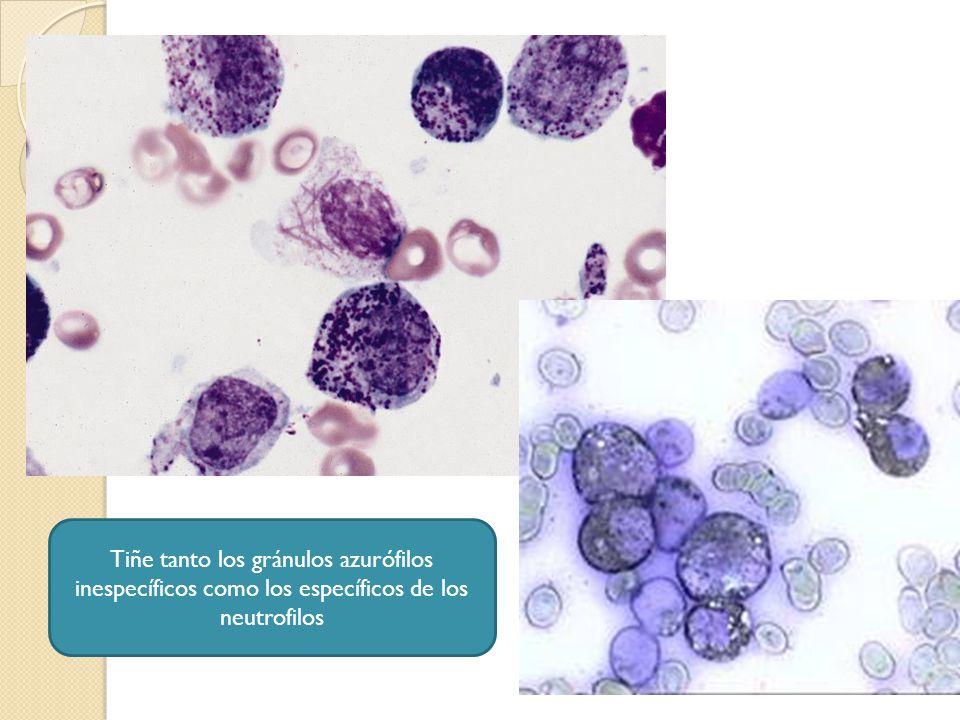 Tiñe tanto los gránulos azurófilos inespecíficos como los específicos de los neutrofilos
