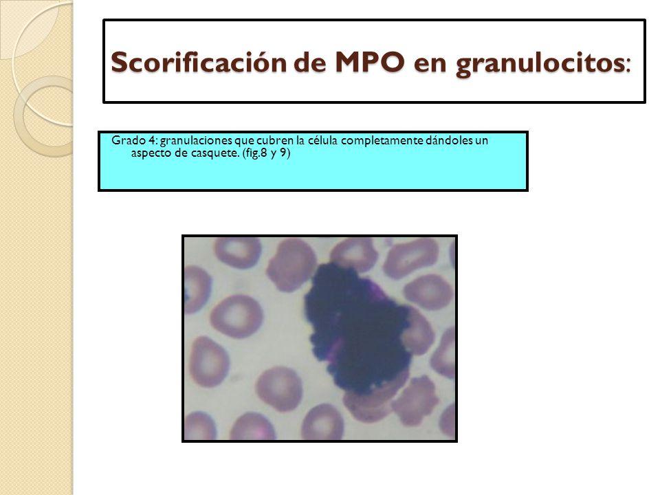 Scorificación de MPO en granulocitos: