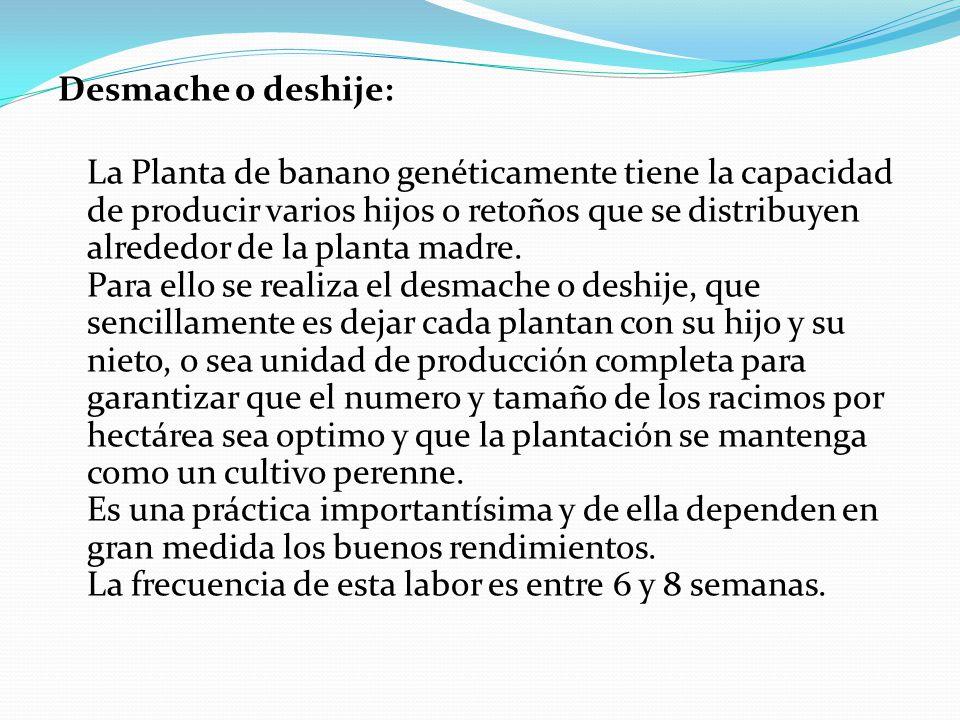 Desmache o deshije: La Planta de banano genéticamente tiene la capacidad de producir varios hijos o retoños que se distribuyen alrededor de la planta madre.