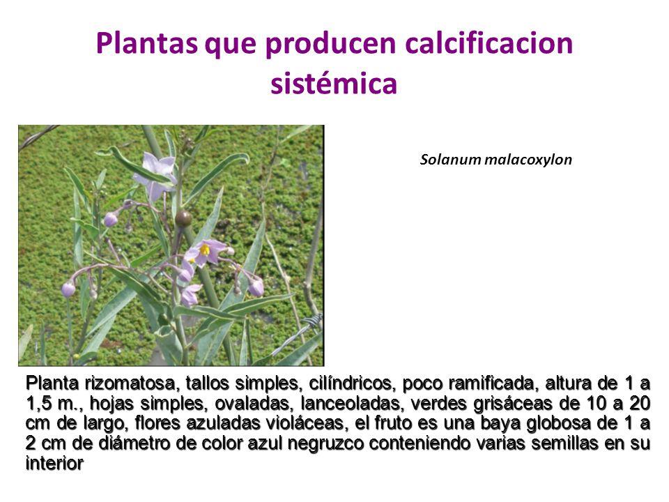 Plantas que producen calcificacion sistémica