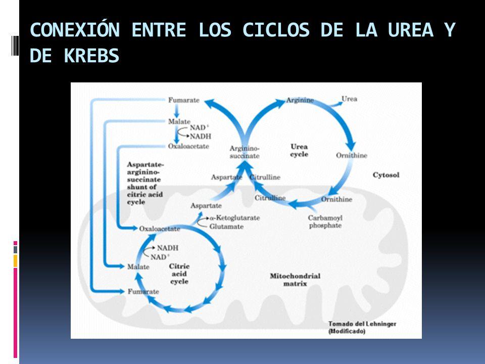 CONEXIÓN ENTRE LOS CICLOS DE LA UREA Y DE KREBS