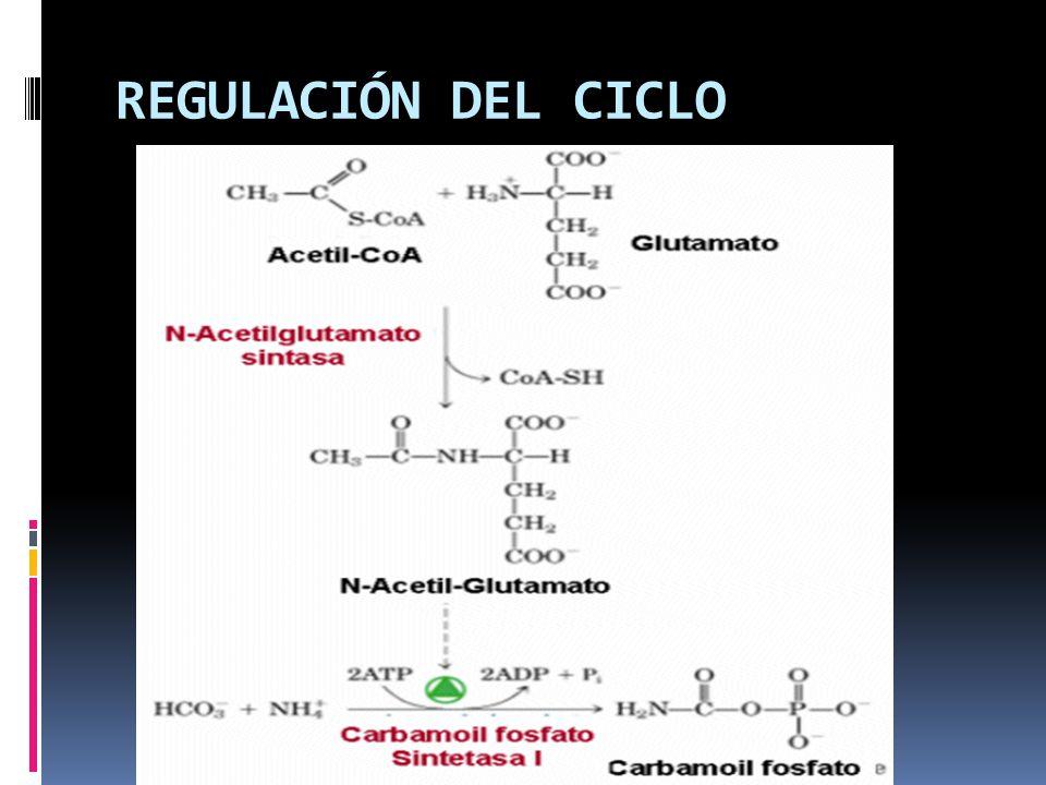 REGULACIÓN DEL CICLO