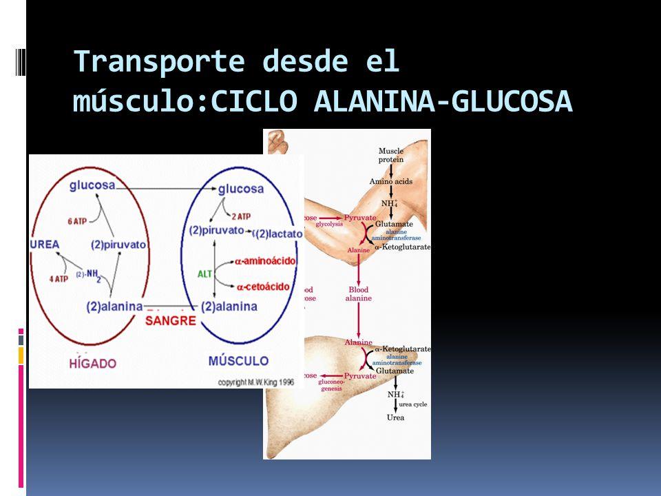 Transporte desde el músculo:CICLO ALANINA-GLUCOSA