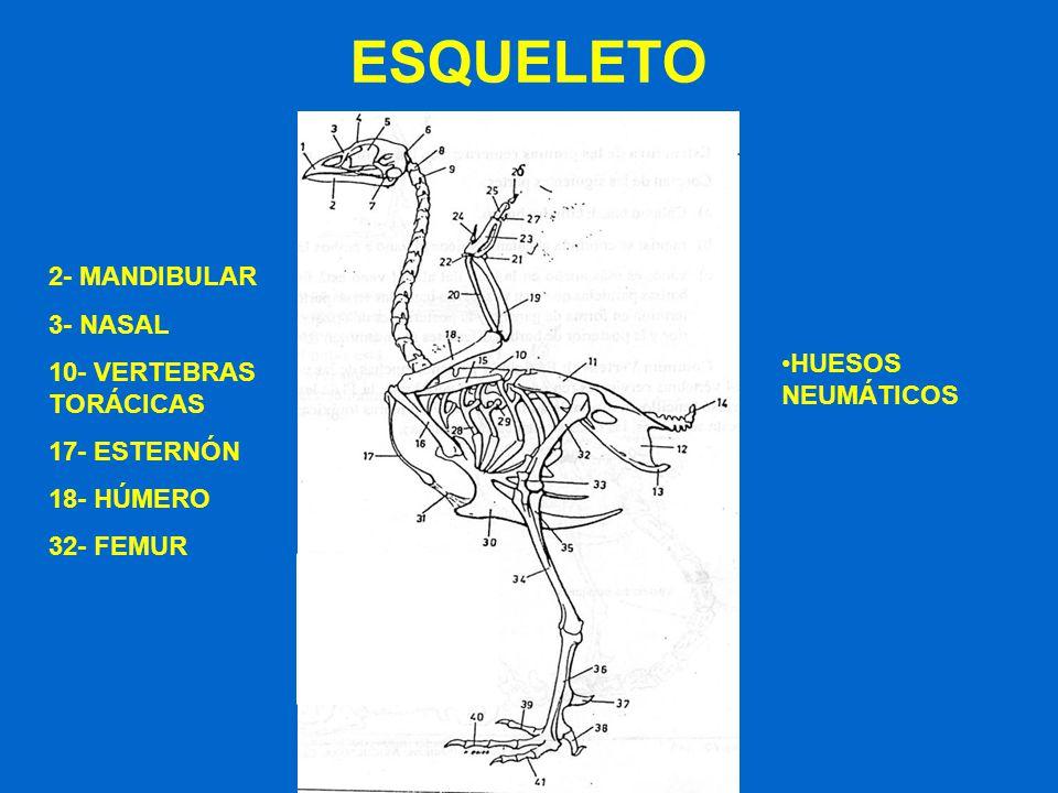 ESQUELETO 2- MANDIBULAR 3- NASAL 10- VERTEBRAS TORÁCICAS 17- ESTERNÓN