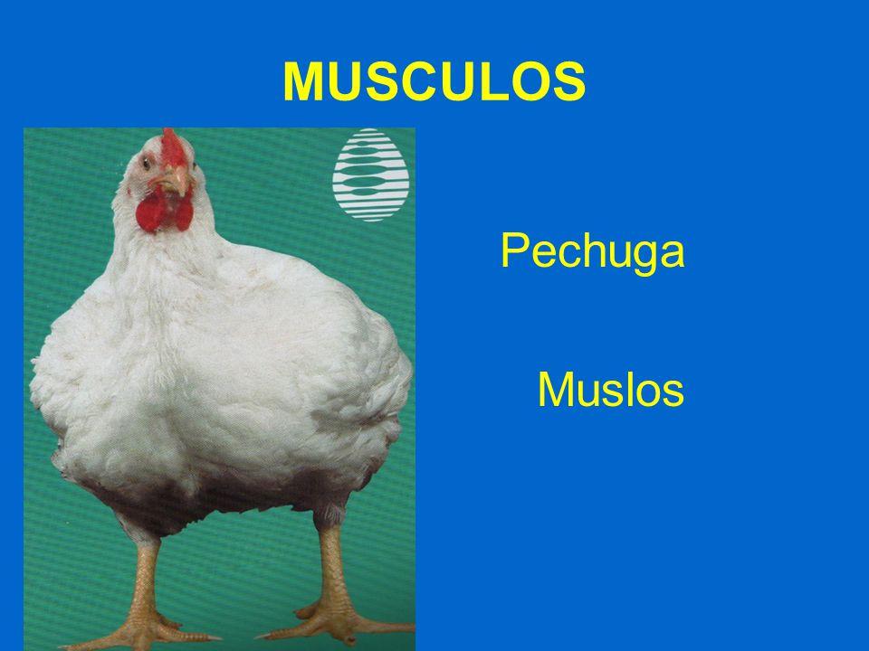 MUSCULOS Pechuga Muslos