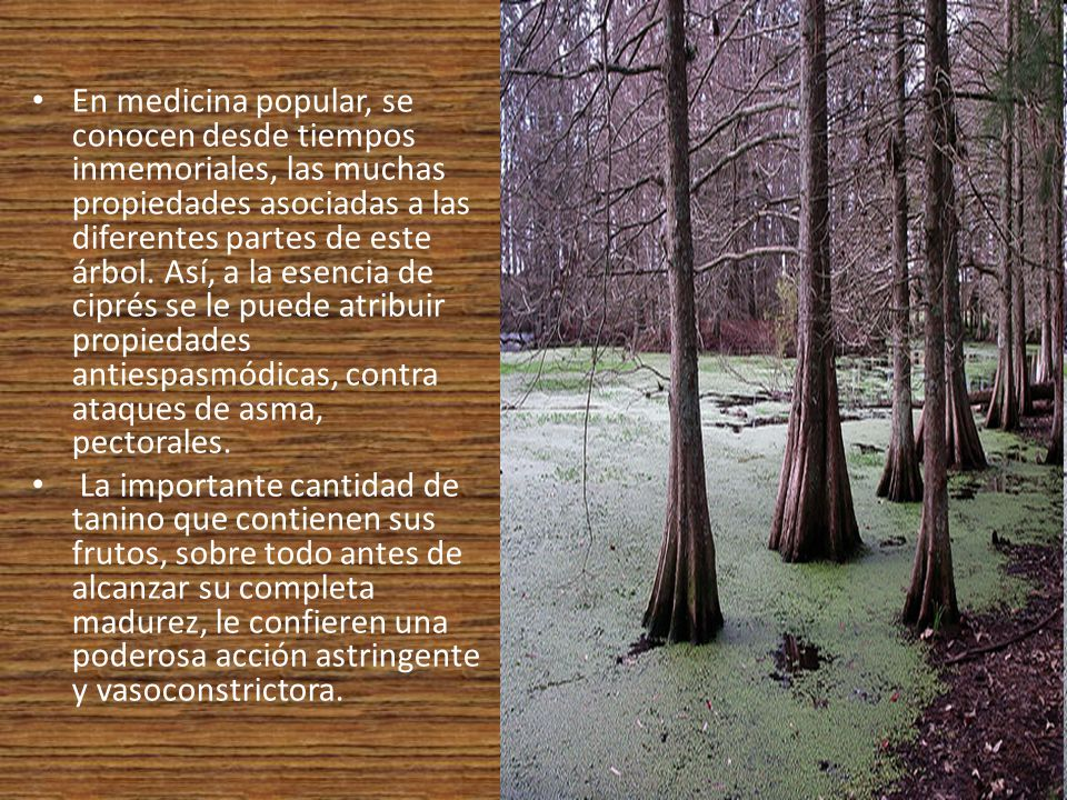 En medicina popular, se conocen desde tiempos inmemoriales, las muchas propiedades asociadas a las diferentes partes de este árbol. Así, a la esencia de ciprés se le puede atribuir propiedades antiespasmódicas, contra ataques de asma, pectorales.