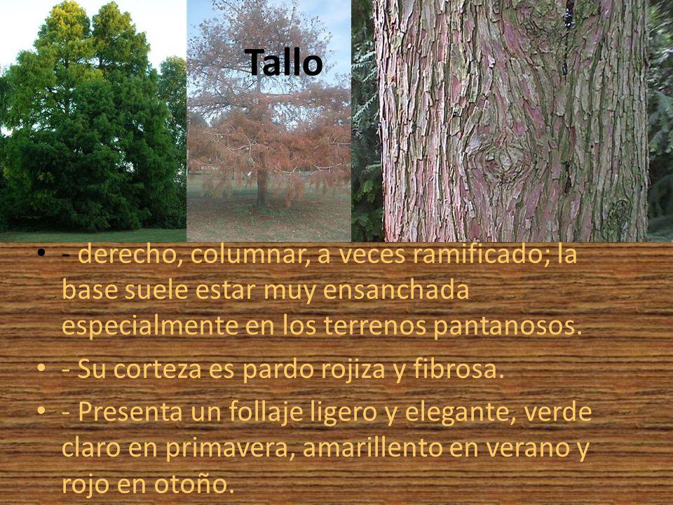 Tallo - derecho, columnar, a veces ramificado; la base suele estar muy ensanchada especialmente en los terrenos pantanosos.