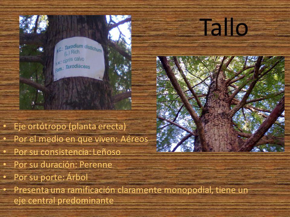 Cipr s calvo taxodium distichum ppt descargar for Medio en el que habitan los arboles