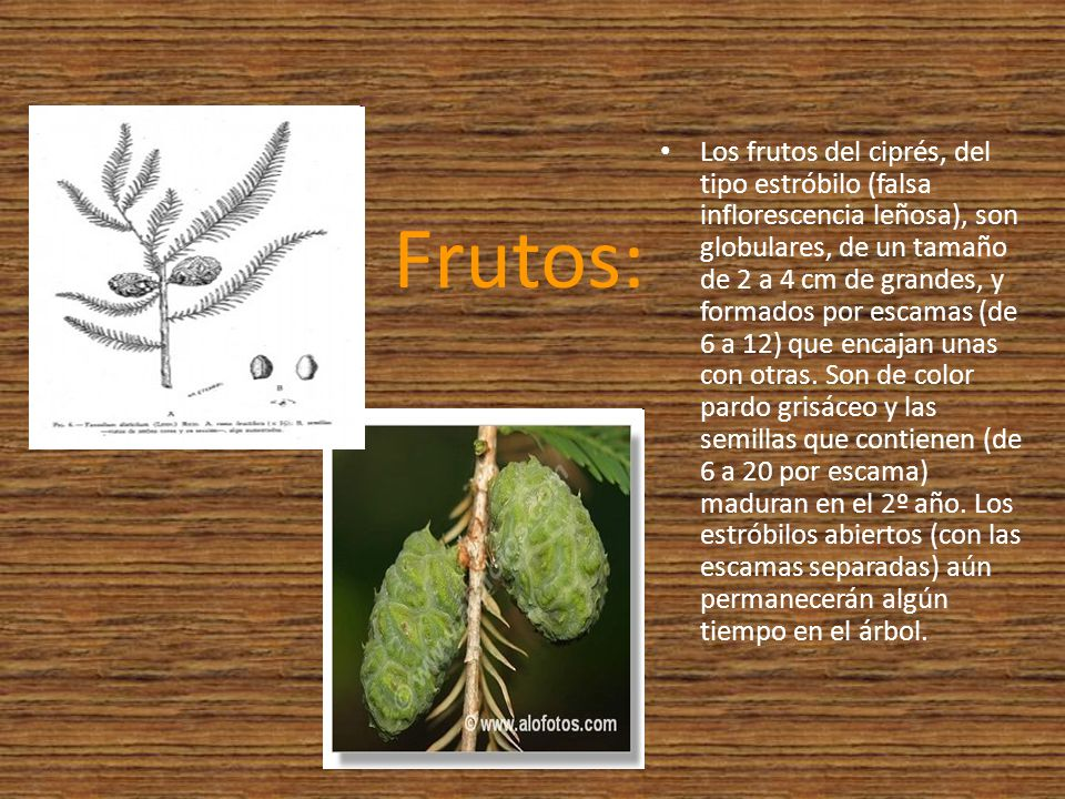 Los frutos del ciprés, del tipo estróbilo (falsa inflorescencia leñosa), son globulares, de un tamaño de 2 a 4 cm de grandes, y formados por escamas (de 6 a 12) que encajan unas con otras. Son de color pardo grisáceo y las semillas que contienen (de 6 a 20 por escama) maduran en el 2º año. Los estróbilos abiertos (con las escamas separadas) aún permanecerán algún tiempo en el árbol.