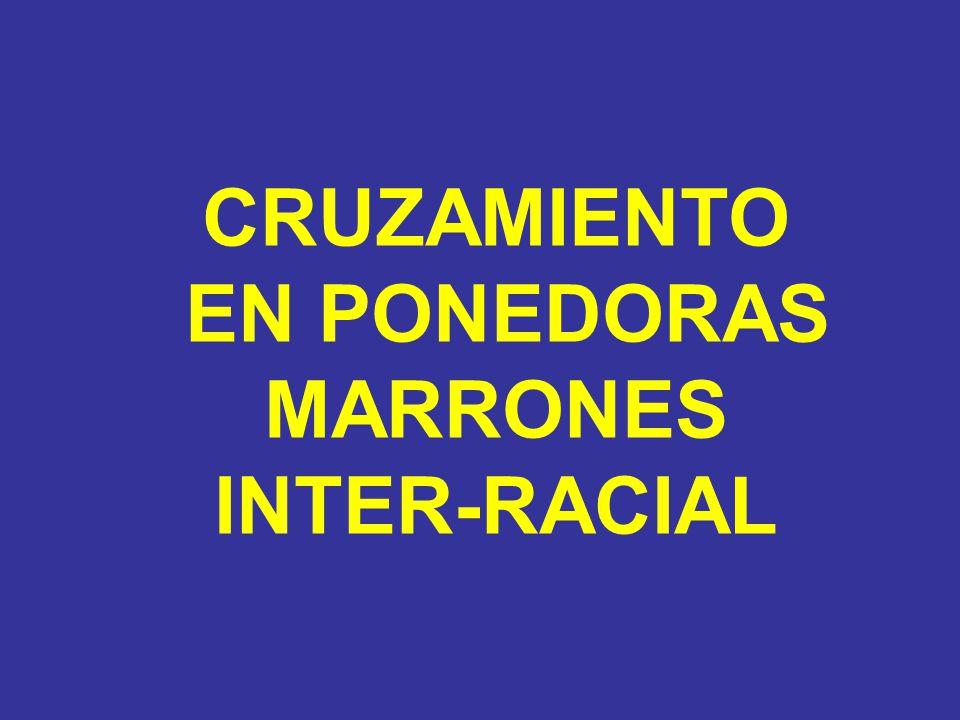 CRUZAMIENTO EN PONEDORAS MARRONES INTER-RACIAL