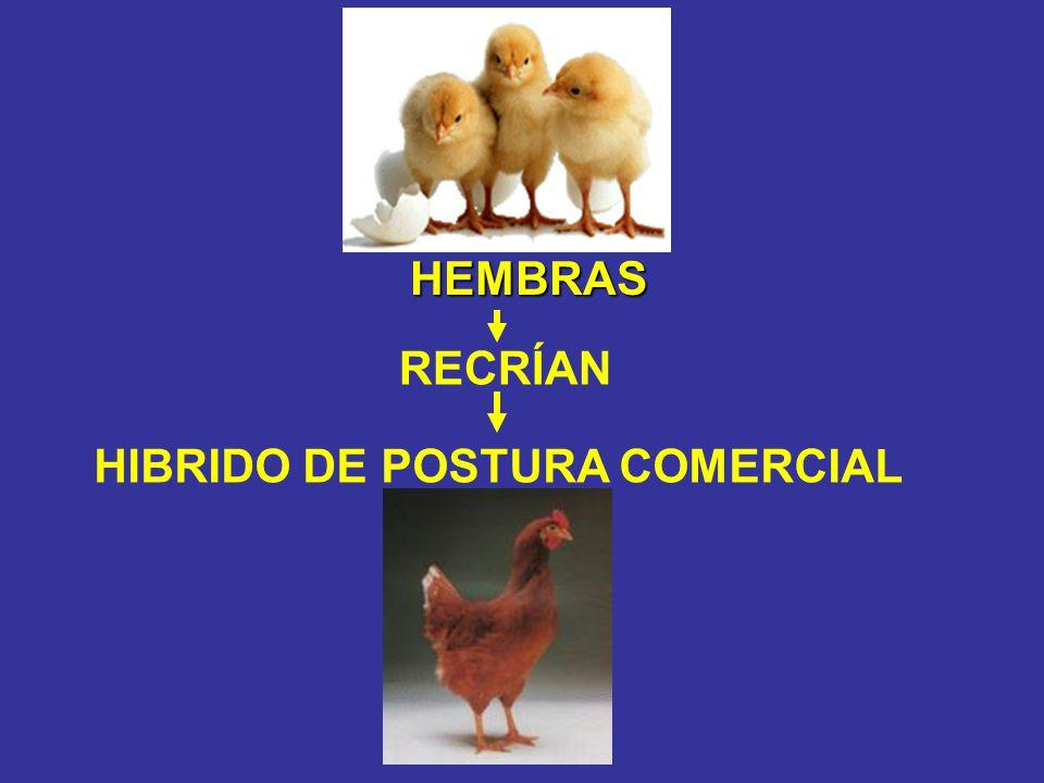 HEMBRAS RECRÍAN HIBRIDO DE POSTURA COMERCIAL