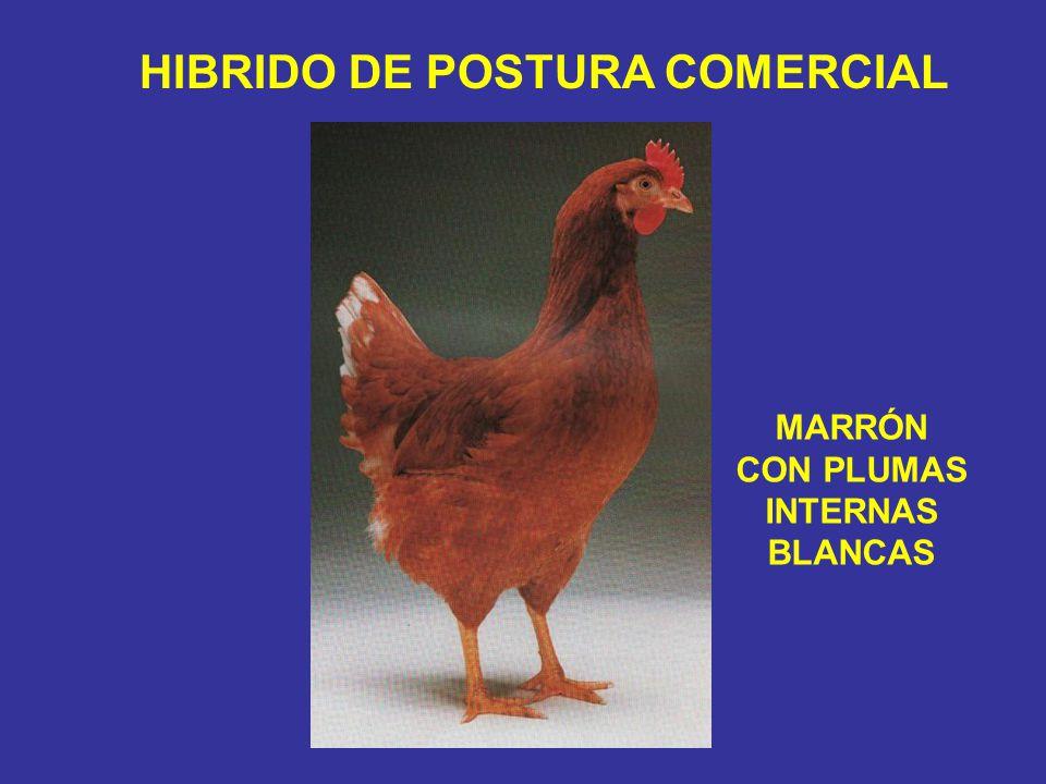 HIBRIDO DE POSTURA COMERCIAL MARRÓN CON PLUMAS INTERNAS BLANCAS