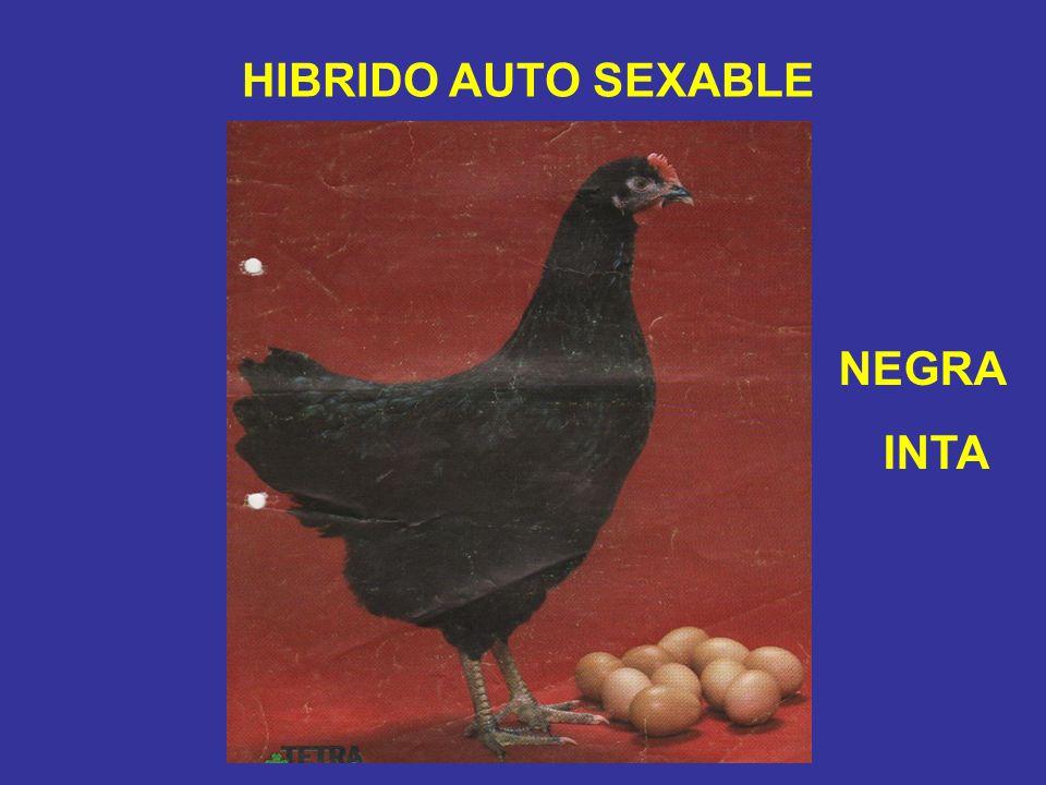 HIBRIDO AUTO SEXABLE NEGRA INTA