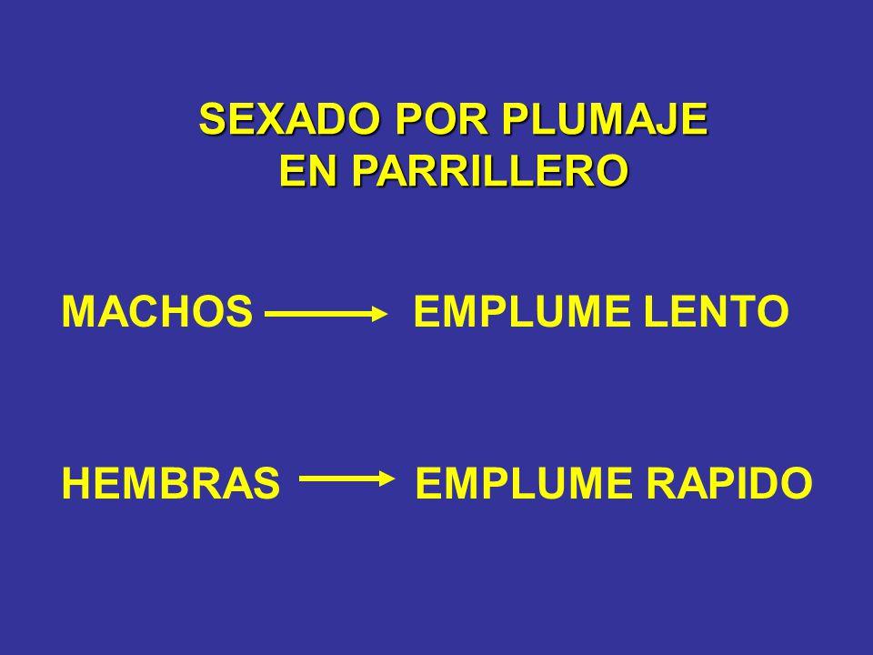 SEXADO POR PLUMAJE EN PARRILLERO MACHOS EMPLUME LENTO HEMBRAS EMPLUME RAPIDO