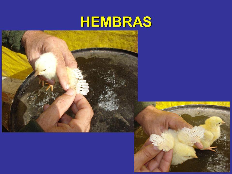 HEMBRAS