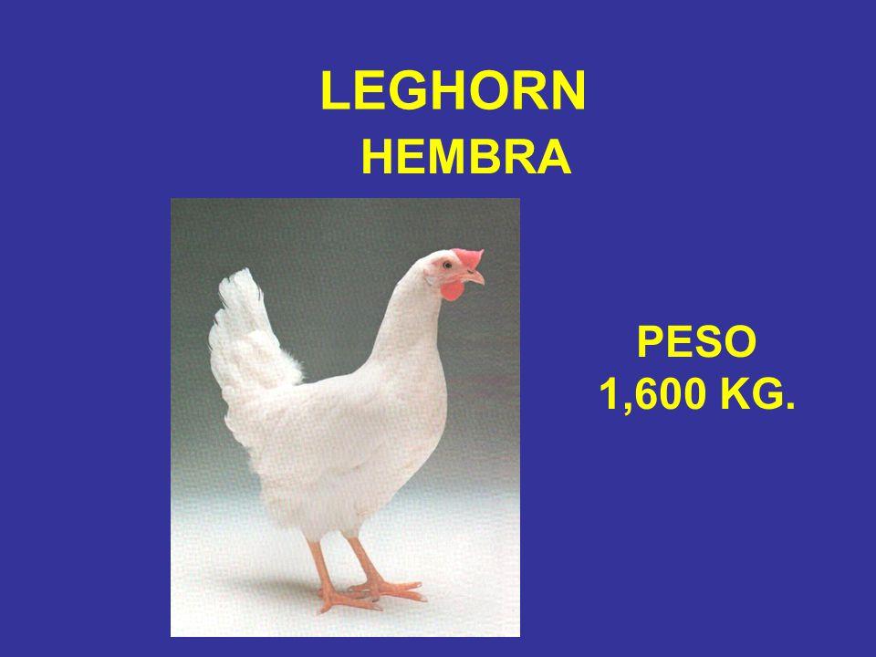 LEGHORN HEMBRA PESO 1,600 KG.