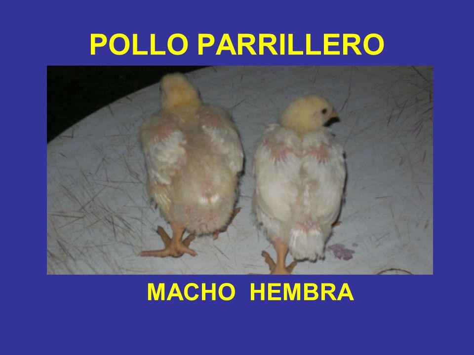 POLLO PARRILLERO MACHO HEMBRA