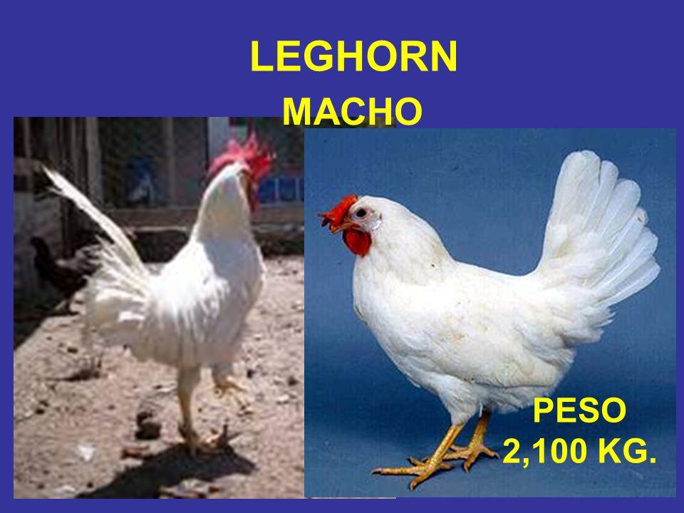 LEGHORN MACHO PESO 2,100 KG.