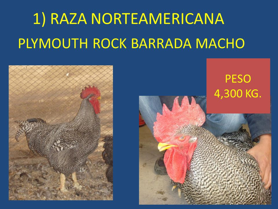PLYMOUTH ROCK BARRADA MACHO